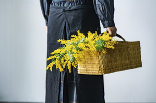 Woman holding bouquet of mimosa in the basket.の写真素材 [FYI04814244]