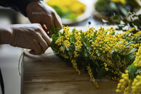 Woman making bouquet of mimosa. Modern lifestyle image.の写真素材 [FYI04814250]