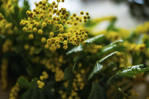 Beautiful mimosa flowers in the kitchen.の写真素材 [FYI04814254]