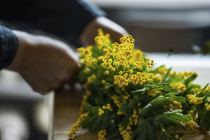 Woman making bouquet of mimosa. Modern lifestyle image.の写真素材 [FYI04814255]