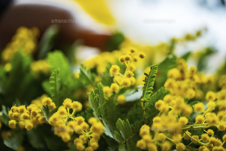 Beautiful mimosa flowers in the kitchen.の写真素材 [FYI04814256]