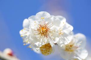 梅の花の写真素材 [FYI04814807]