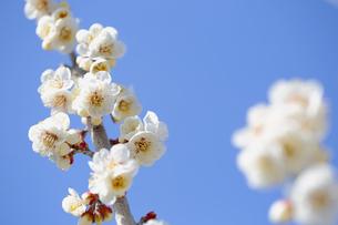 梅の花の写真素材 [FYI04814809]