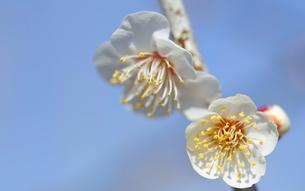 梅の花の写真素材 [FYI04814811]