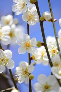 梅の花の写真素材 [FYI04814815]
