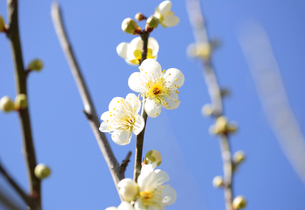 梅の花の写真素材 [FYI04814816]