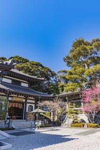 満開の梅の木と観音造立1300年を迎えた長谷寺の阿弥陀堂と鐘楼の写真素材 [FYI04814854]