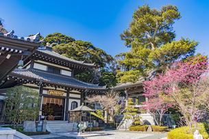 満開の梅の木と観音造立1300年を迎えた長谷寺の阿弥陀堂と鐘楼の写真素材 [FYI04814855]