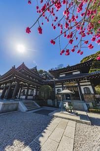 満開の梅の木と観音造立1300年を迎えた長谷寺の観音堂と阿弥陀堂の写真素材 [FYI04814859]
