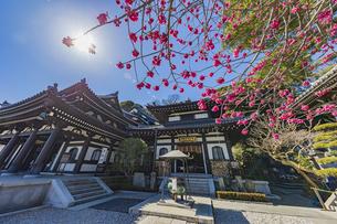 満開の梅の木と観音造立1300年を迎えた長谷寺の観音堂と阿弥陀堂の写真素材 [FYI04814860]