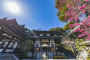 満開の梅の木と観音造立1300年を迎えた長谷寺の観音堂と阿弥陀堂の写真素材 [FYI04814861]