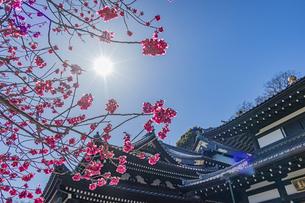 満開の梅の木と観音造立1300年を迎えた長谷寺の観音堂と阿弥陀堂の写真素材 [FYI04814862]