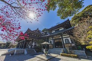 満開の梅の木と観音造立1300年を迎えた長谷寺の観音堂と阿弥陀堂の写真素材 [FYI04814864]