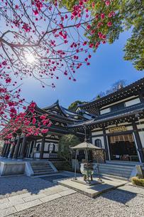 満開の梅の木と観音造立1300年を迎えた長谷寺の観音堂と阿弥陀堂の写真素材 [FYI04814865]