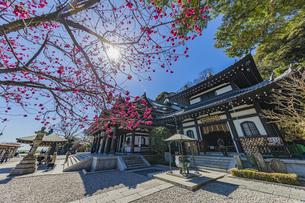 満開の梅の木と観音造立1300年を迎えた長谷寺の観音堂と阿弥陀堂の写真素材 [FYI04814866]