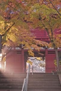 朝の光と紅葉 長谷山本土寺 仁王門の写真素材 [FYI04814874]