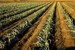 朝日が当たる冬ネギの植え付けをしたネギ畑の写真素材 [FYI04815019]