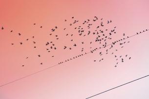 朝焼けの空を飛ぶ鳥の群れと電線に止まる鳥のシルエットの写真素材 [FYI04815024]