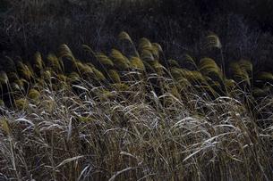 葦(アシ・ヨシ)が風になびく光景の写真素材 [FYI04815028]