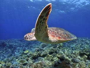 沖縄の海を泳ぐウミガメの写真素材 [FYI04815047]