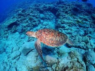 沖縄の海を泳ぐウミガメの写真素材 [FYI04815048]