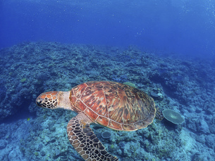 海中を泳ぐウミガメの写真素材 [FYI04815049]