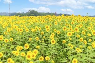 空と雲・ひまわり畑 夏の季節に晴天空 太陽光 空へ向かって美しく咲きましたの写真素材 [FYI04815170]