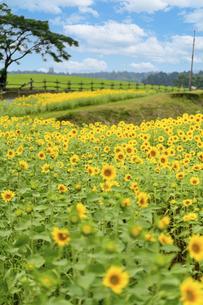 空と雲・ひまわり畑 夏の季節に晴天空 太陽光 空へ向かって美しく咲きましたの写真素材 [FYI04815182]