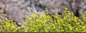 屋外で撮影した菜の花の写真素材 [FYI04815195]