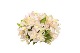 アルストロメリアの花束の写真素材 [FYI04815200]
