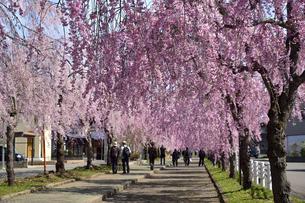 喜多方 日中線跡の枝垂れ桜の写真素材 [FYI04815215]