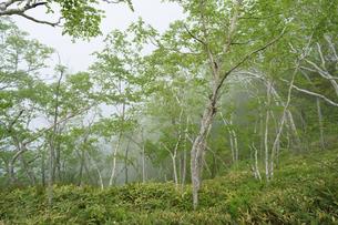 ダケカンバの森の写真素材 [FYI04815216]