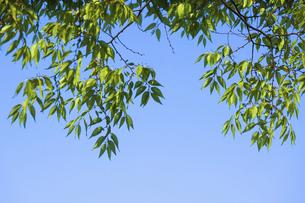 初夏の風に揺れるケヤキの新緑の写真素材 [FYI04816116]