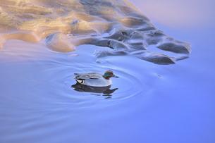 朝焼けが映り込む河川を泳ぐコガモ(カモ目カモ科)の写真素材 [FYI04816244]