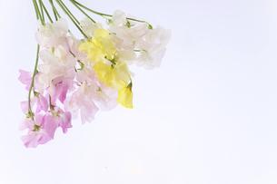 白バックの様々な色のスイートピーの写真素材 [FYI04816269]