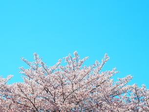 桜の写真素材 [FYI04816311]