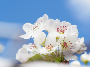 梨の花の写真素材 [FYI04816317]