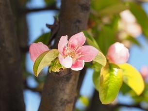 カリンの花の写真素材 [FYI04816318]