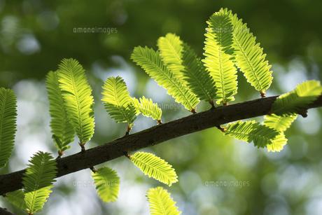 新緑のメタセコイアの写真素材 [FYI04816477]