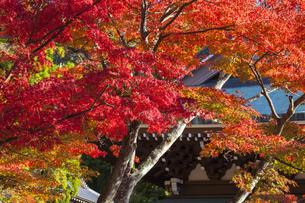 円覚寺 仏殿のモミジ紅葉の写真素材 [FYI04816850]