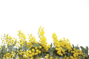 白バックのミモザの花の写真素材 [FYI04818821]