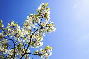 桜の写真素材 [FYI04819117]
