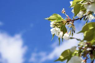 桜の写真素材 [FYI04819118]