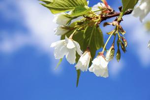 桜の写真素材 [FYI04819119]