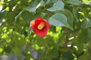椿の花の写真素材 [FYI04819124]