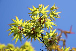 新緑の楓の写真素材 [FYI04819125]