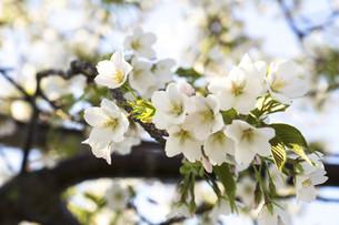 桜の写真素材 [FYI04819126]