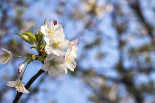 桜の写真素材 [FYI04819127]