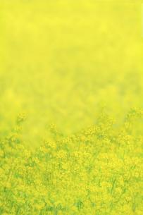 一面黄色の菜の花畑。黄色、春,故郷イメージの写真素材 [FYI04819238]