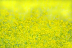 一面黄色の菜の花畑。黄色、春,故郷イメージの写真素材 [FYI04819239]